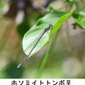 ホソミイトトンボ♀ 3/24 茅ケ崎市Kk