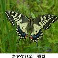 キアゲハ♀ 春型 4/20