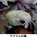 ヤママユの繭 1/30 捕食されている