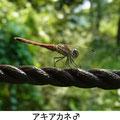 アキアカネ♂ 9/11  Km
