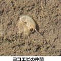 ヨコエビの仲間 3/8 水生生物