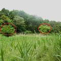 1 谷戸右岸に残るヤナギの大木
