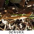 クビキリギス 2/19 褐色型