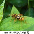 ヨツスジトラカミキリ交尾 7/30