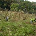 写真4 カナムグラ刈り取り作業