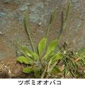 ツボミオオバコ 3/25 外来種