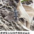 オオモンシロナガカメムシ  5/4