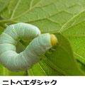 ニトベエダシャク   4/29  Km エノキの葉