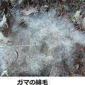 ガマの綿毛 1/21 地上に倒れた穂が散乱