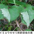 ダイミョウセセリ終齢幼虫の巣   7/4    Km  ヤマイモの葉で姿を隠す