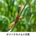 ホソハリカメムシ交尾 9/1