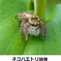 ネコハエトリ幼体 9/23 今期はハエトリの成虫が少ない