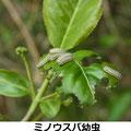 ミノウスバ幼虫 3/26  Km マユミにつく