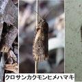 クロサンカクモンヒメハマキ  3/3   地面近くをピラピラと飛ぶ