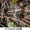 テイカカズラの種 2/6 谷戸外から谷戸内林床に飛ぶ
