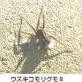 ウズキコモリグモ♀ 3/24
