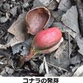 コナラの発芽 2/23