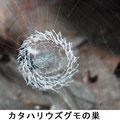 カタハリウズグモの巣 5/20
