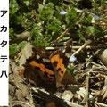 アカタテハ 3/1 越冬のため翅が傷んでいる 後ろにオオイヌノフグリ