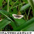 ウチムラサキヒメエダシャク 6/28