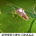 エサキモンキツノカメムシ 3/11 ハートマーク
