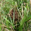 コジュズ スゲに造られたカヤネズミの球巣