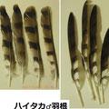 ハイタカ♂羽根 11/21 落鳥個体から拾得
