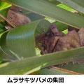 ムラサキツバメの集団越冬 1/9 シュロの葉陰に入る