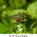 ヒメフンバエ♂ 4/12 Km