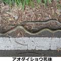 アオダイショウ死体 4/11 長さ2mを超える