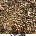 シラカシの実 1/10 地上に集まって落ちているが、誰が食べるのか