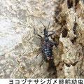 ヨコヅナサシガメ終齢幼虫 3/25 Km