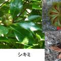 シキミ 9/2 猛毒 谷戸の墓地に植えてある 仏教施設に植えられる