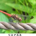 リスアカネ♂ 9/29
