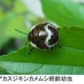 アカスジキンカメムシ終齢幼虫  9/2