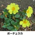 ポーチュラカ 8/27 大阪花博よく広がる、暑さ、乾燥に強く、日が射す道路に力強く咲く