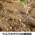 ウスバカゲロウの蟻地獄 1/4 ダンゴムシの死骸が散乱している