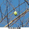 ウスタビガ繭 2/13 Km