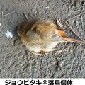 ジョウビタキ♀落鳥個体 12/29