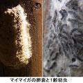 マイマイガの卵嚢と1齢幼虫    3/28  モフモフした大きい卵で、産卵後腹部の毛を付け卵を隠す(左写真)。
