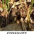 ビロウドツリアブ 3/14 尖った長い口吻がある