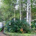 Birchwood corner in the garden
