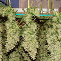 Zum trocknen befestigte Cannabis Hanf Blüten aufgehängt
