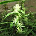 weibliche Hanf (Cannabis) Blüten