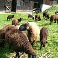 Unser Jura Schafe