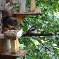 Eichhörnchen und Buntspecht / Blick vom Balkon - Bild von unseren Gästen aus dem Erzgebirge