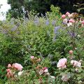 Rosas y ceanotos