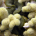 Hard coral and Clam Cairns, from flickr mattk1979, licenced as CCBY-SA.