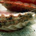 Bivalve Mollusc, Scallop. Image from CSIRO CCBY.