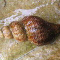 Mollusc, Whelk at Adventure Bay, Tasmania. Image from http://www.ausmarinverts.net/